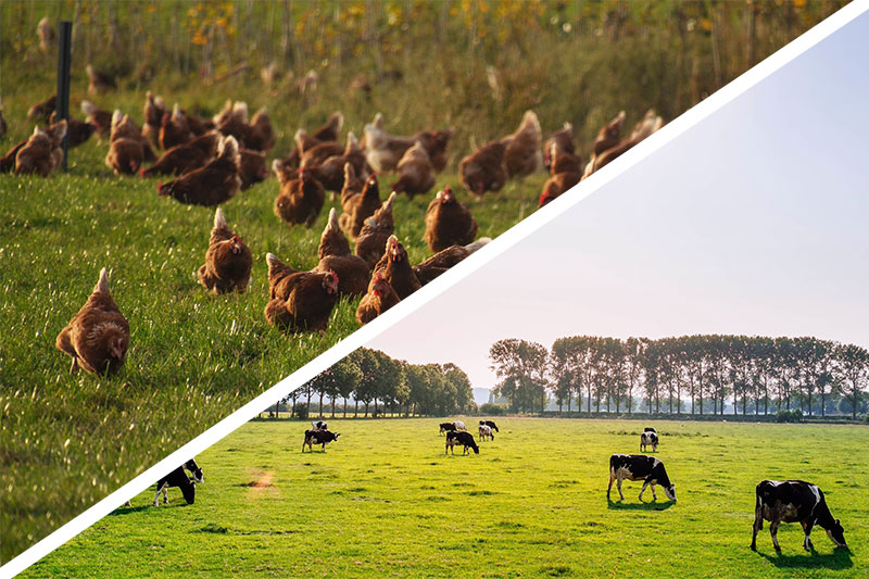 Grass fed cattle and free range chickens